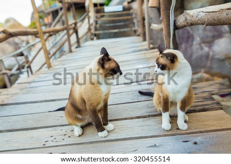 Brown white Thai cat, seated on the wooden at islands - stock photo