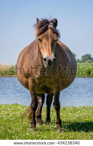 Brown wild horse in nature. Dutch landscape, netherlands - stock photo