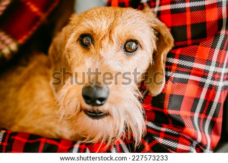 Brown Wirehaired Dachshund Sits In Hands Of Mistress
