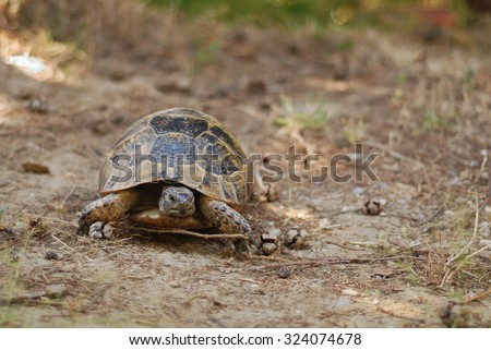Brown Wood Turtle close-up among fir cones