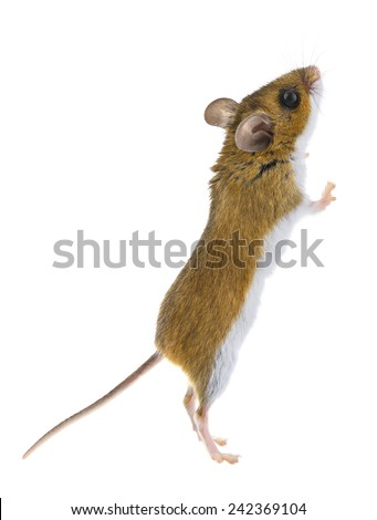 Brown Woodlands Deer Mouse Standing Upright - peromyscus  - stock photo