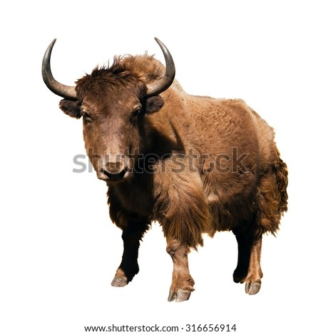 brown yak (Bos mutus) isolated on white background