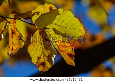 Brown yellow leaves with tiny twig over blue sky. Autumn leaves frame, photo of sunlight through fresh tree leaves, natural background, yellow autumnal foliage border, trees in the fall and bright sun - stock photo