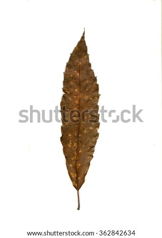 brown, yellow stained leaf, an autumn symbol as a seasonal themed concept as an icon of the fall weather on an isolated white background - stock photo