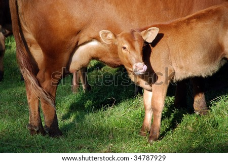 Brown young calf drinks milk from his mother - stock photo