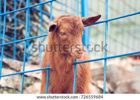 Brown young goat behind blue metal lattice