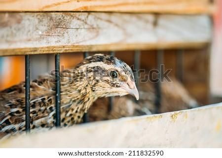 Brown Young Quail Bird Close Up - stock photo