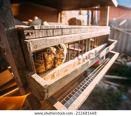 Brown Young Quails Birds In Cage - stock photo