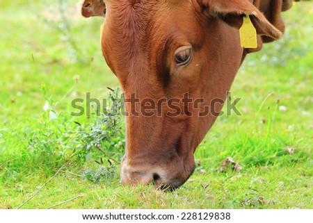 brown zebu grazing fresh grass  on green meadow - stock photo