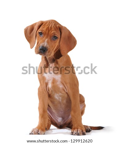BrownVizsla puppy sits on isolated white background