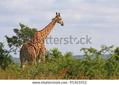 Browsing african giraffe - stock photo