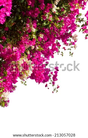 brsnch of bougainvillea flowers isolated on white background - stock photo
