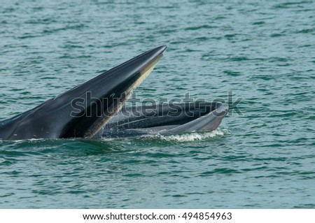 Bruda whale, open mouth for eating fish in the sea