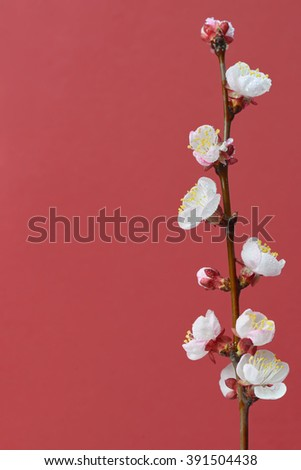brunch cherry blossoms on a red paper background - stock photo