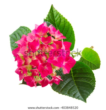 brunch of  fresh pink hortensia flowers isolated on white background - stock photo