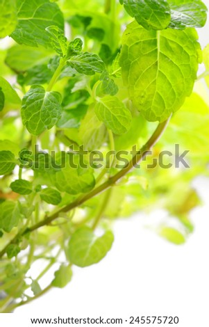 Brunch of Peppermint leaves - stock photo