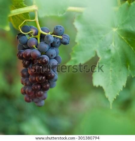 brunch of riping grape close up on a bush - stock photo