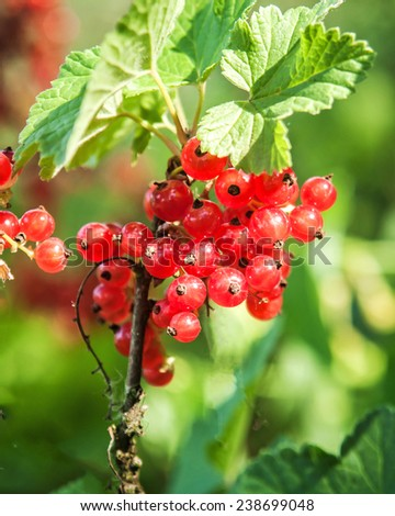 Brush red currants - stock photo