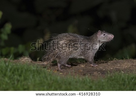 Brush-tailed (PorcupineAtherurus macrourus)  in nature - stock photo