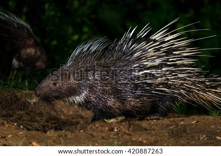 Brush-tailed (PorcupineAtherurus macrourus) in nature at night