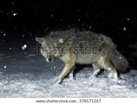 Brush Wolf (Coyote) in Winter Snow at Night