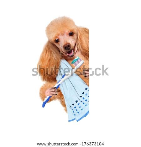brushing teeth dog  - stock photo