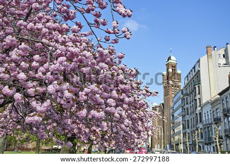 BRUSSELS, BELGIUM - APRIL 22, 2015: The japanese cherry trees from the Square Riga at Schaerbeek in bloom during the springtime in Brussels, Belgium - stock photo
