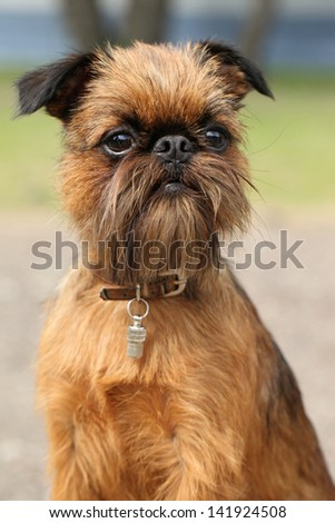 Brussels Griffon dog portrait. (Outdoor shoot) - stock photo