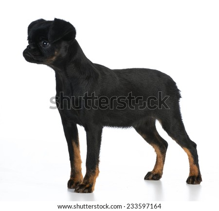 brussels griffon puppy standing on white background