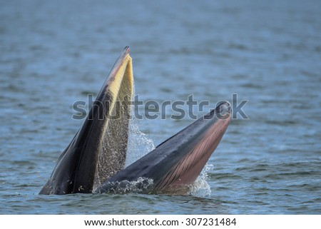 Bryde's whale, Eden's whale in gulf of Thailand - stock photo