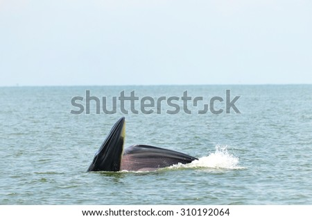 Bryde's whale in gulf of Thailand
