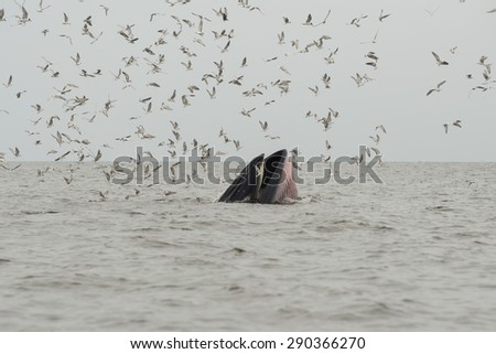 Bryde's whale in Thailand - stock photo