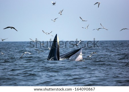 Bryde's whale with tern, Eden's whale in gulf of Thailand