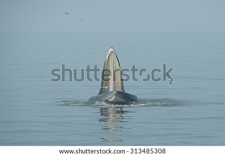 Bryde whale,Eden's whale opened its mouth to eat small fish. Seagulls eat fish from the mouth of a whale