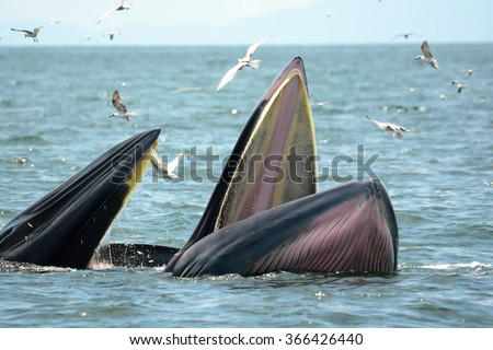 Bryes whale (mother and son) hunting shrimps.
