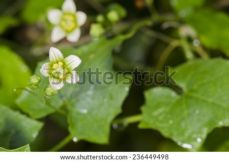 Bryonia alba - stock photo