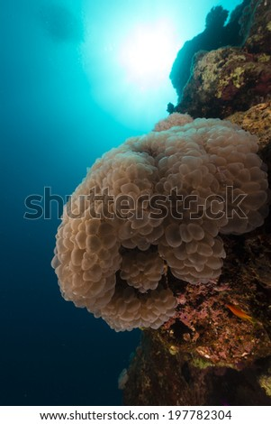 Bubble coral and cleaner shrimps in the Red Sea - stock photo