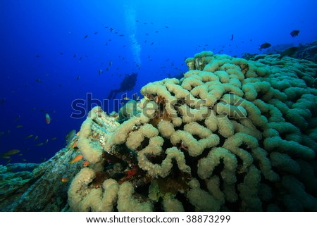 Bubble Coral and Scuba Diver silhouetted in background