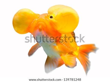Bubble eye Gold fish Isolated on White Background - stock photo