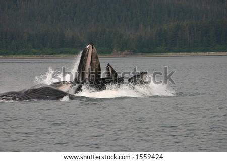 bubblenet feeding humpbacks - stock photo