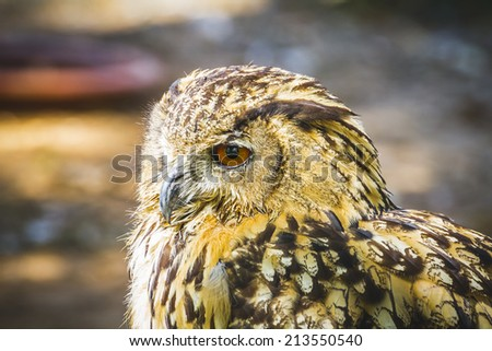 bubo, beautiful owl with intense eyes and beautiful plumage - stock photo