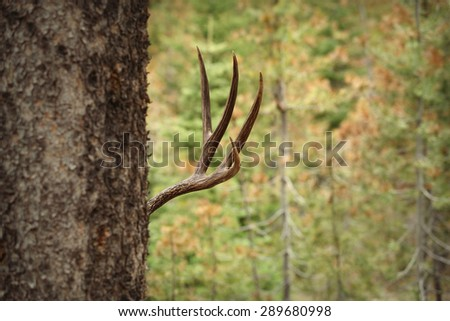 buck deer hiding behind tree in forest - stock photo