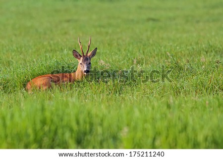 Buck deer resting in a clearing