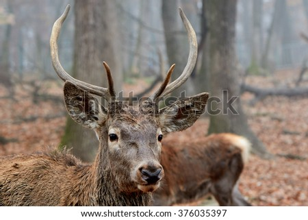 buck deer stag portrait in autumn forest
