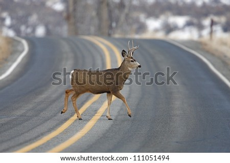 "Buck Deer walks across highway on a blind curve, an ""accident waiting to happen"", Twisp, Washington; auto / car accident - stock photo"