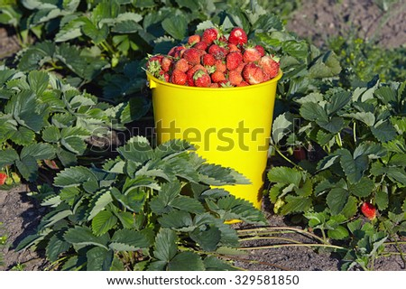 Bucket full of berries is among the bushes of strawberries - stock photo