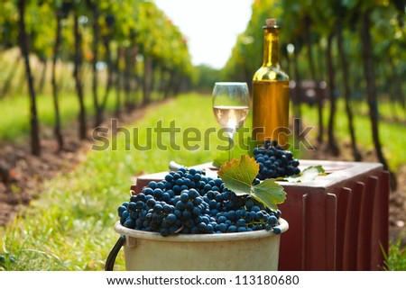 Bucket full of grapes on the vine harvest - stock photo