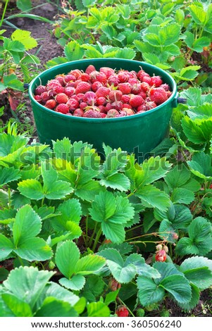 Bucket of freshly picked strawberries in summer garden - stock photo