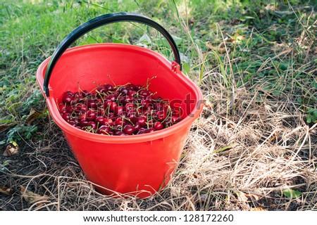 Bucket of juicy cherries. - stock photo