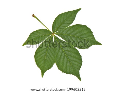 buckeye leaf closeup isolated on white background - stock photo